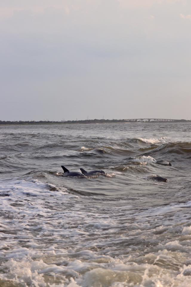 Pod of dolphins swimming in ocean at sunset near Tybee Island, GA