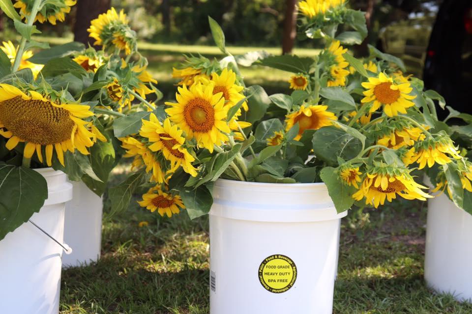 White ten gallon buckets willed with fresh sunflowers from Farmer's Market on Tybee Island, GA